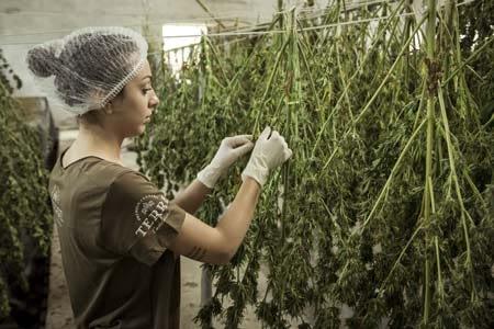 cannabis as a product